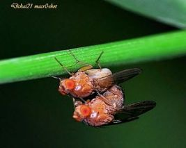 Mating fruit flies