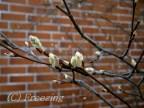 Kevät tulee niin nopeasti ! /silmut13