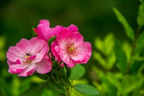 rose-526543_640