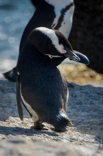 Afrikanischer Pinguin beim Putzen