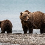 Braunbären in Alaska fotografieren – Katmai Nationalpark