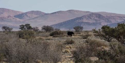 Vogel-Straus in der Namib Wüste