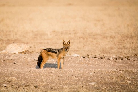 Schakal in der Steppe im Etosha Nationalpark Namibia