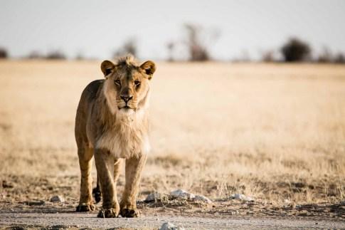 Junges Löwenmännchen im Etosha Nationalpark Namibia