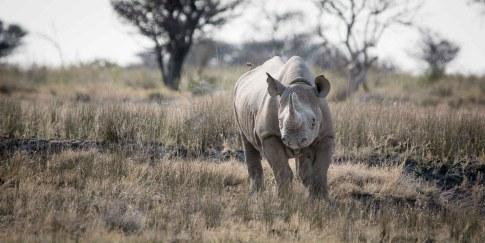 Nashorn im Etosha Nationalpark Namibia Afrika