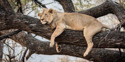Löwe schläft auf Baum im Moremi Nationalpark Botswana