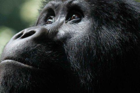 Gorilla in Bwindi Nationalpark Uganda