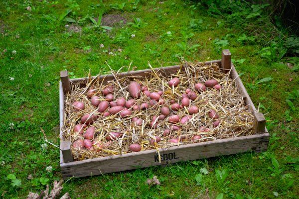 Erste Kartoffelernte!