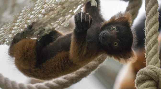 Kölner Zoo: Chaos im Madagaskarhaus