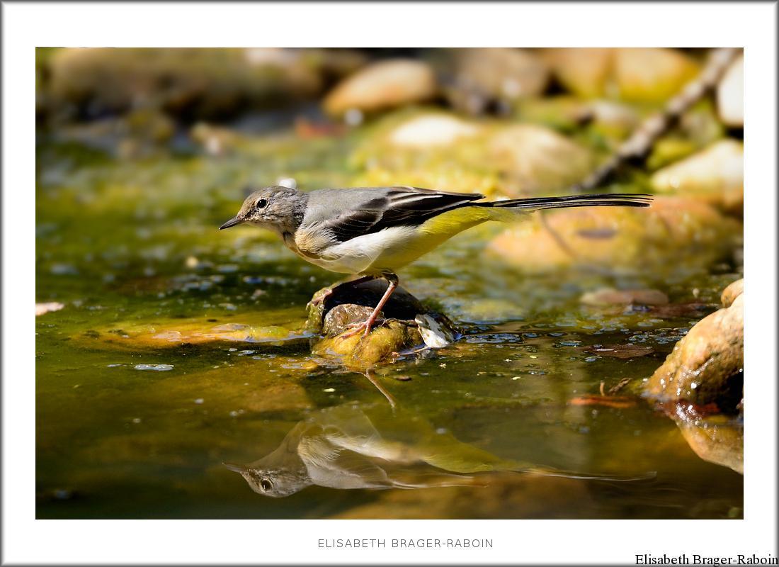 Bergeronnette des ruisseaux - suite-