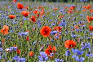 Coquelicot and bleuets