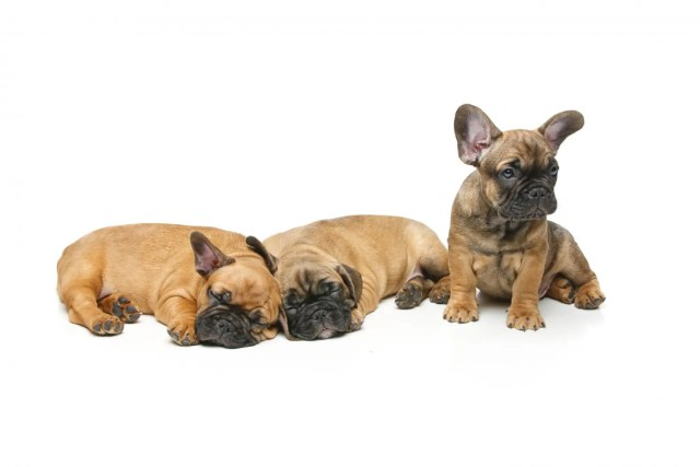 french bulldog puppies under 500$ - why it's impossible