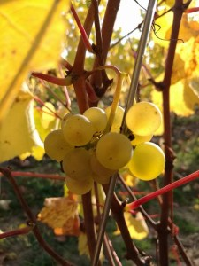 ripening grapes in the Loire