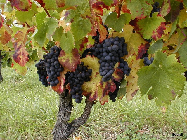Bergerac vines