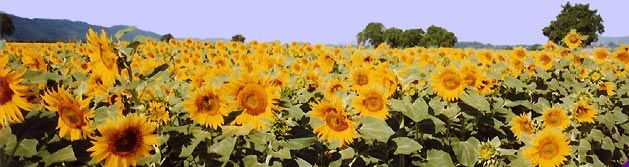day0_img_sunflowerfield