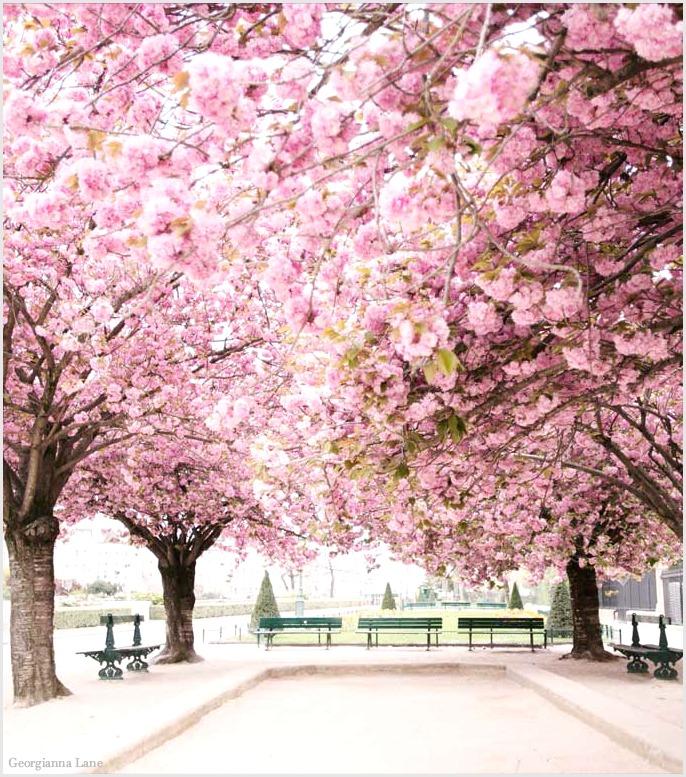 ParisinBloomBlossoms