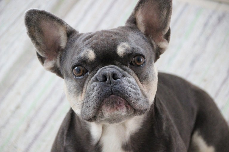 Coats and Colors of French Bulldogs