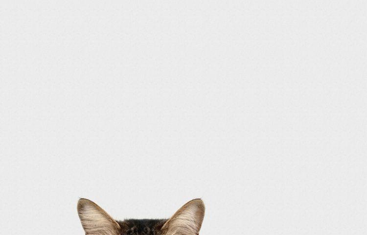 cbd for cat allergies