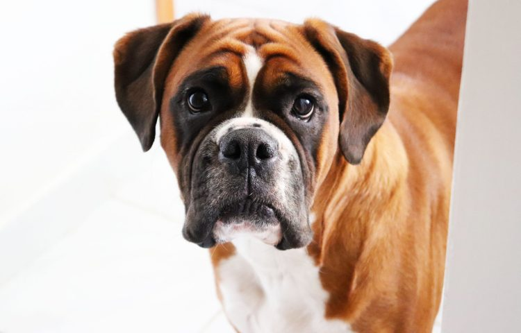 Natural Treatment for Dogs With Mast Cell Tumor