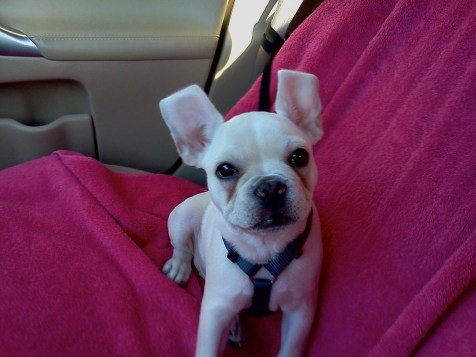 French Bulldog Puppy - Frenchiespace.com
