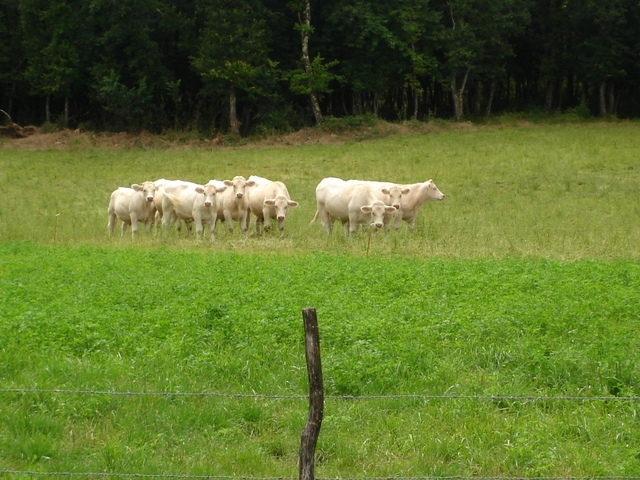 Cows in Northern Boischaut © Parisdreux - licence [CC BY-SA 3.0] from Wikimedia Commons