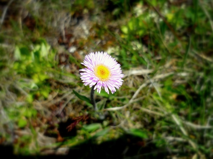 Oneflower fleabane © French Moments