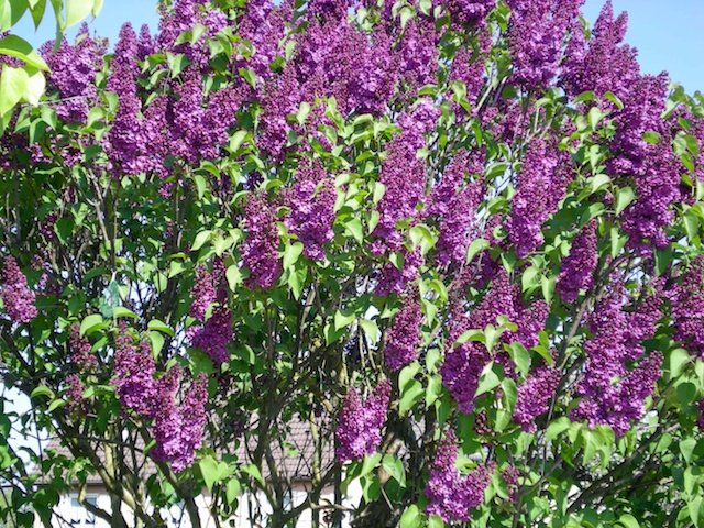 Purple Lilac © French Moments