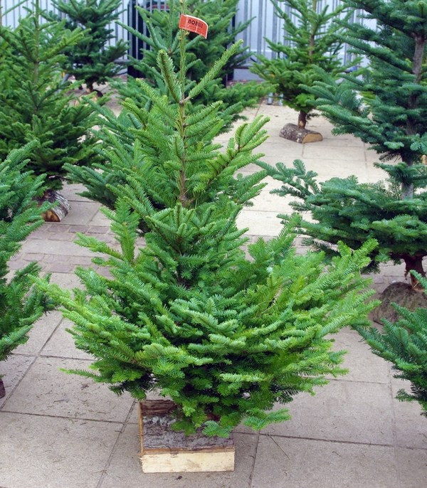 Type Of Christmas Trees.What Are The Christmas Tree Types In France French Moments