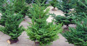 Choosing your Christmas tree in France - here in Maisons-Laffitte © French Moments