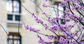 Tree in Bloom Place du Père Teilhard de Chardin © French Moments