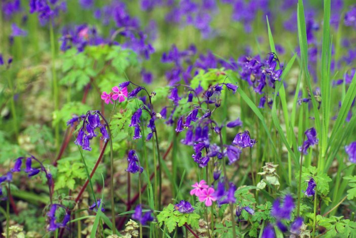 Bluebells in the Park of Maisons-Laffitte © French Moments
