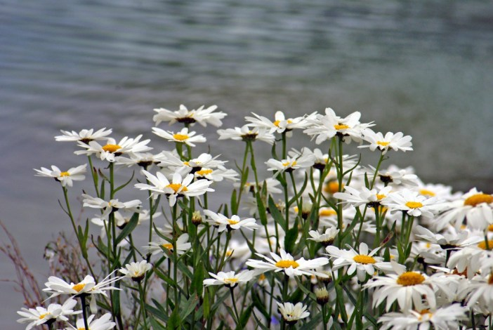 Marguerites Maisons-Laffitte 01 © French Moments