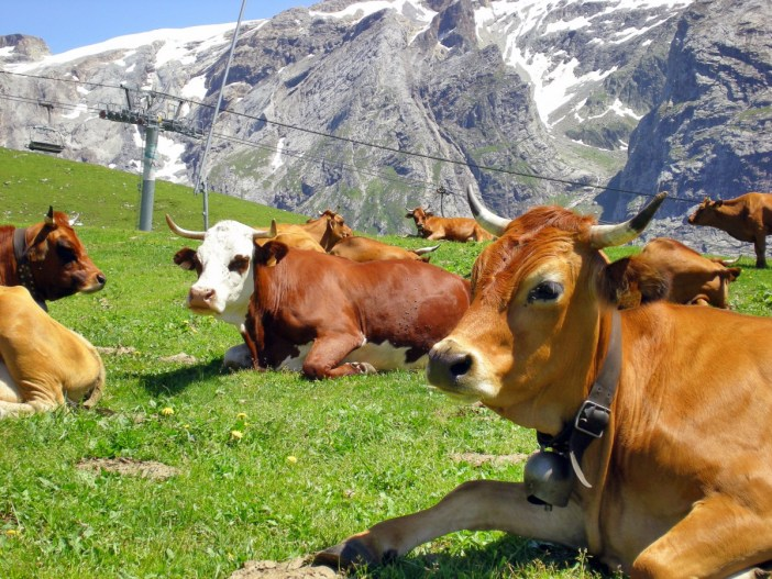 Tarine and Abondance Cows in the Vanoise © French Moments