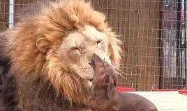 denture-lion