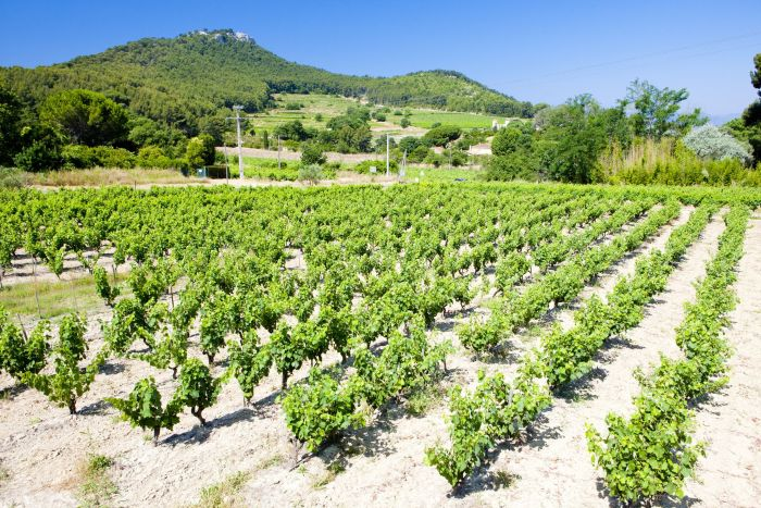 Vineyards in Bandol, Provence, France