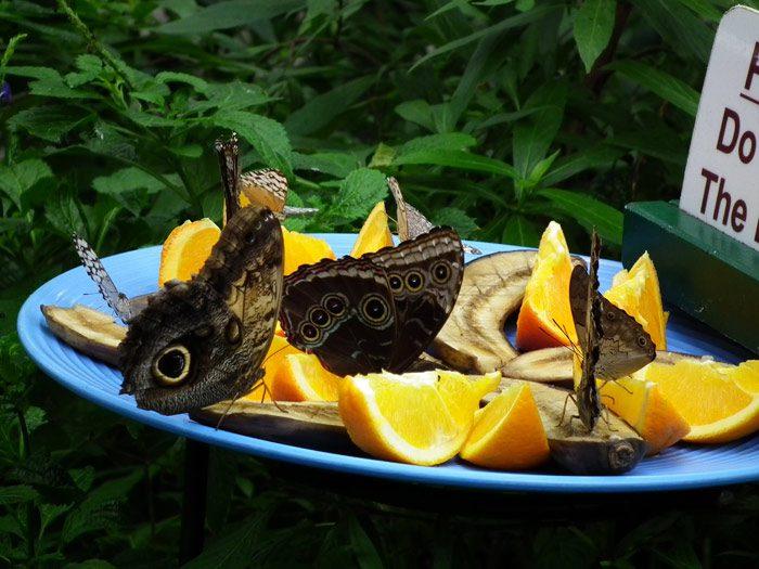papillons-sur-oranges