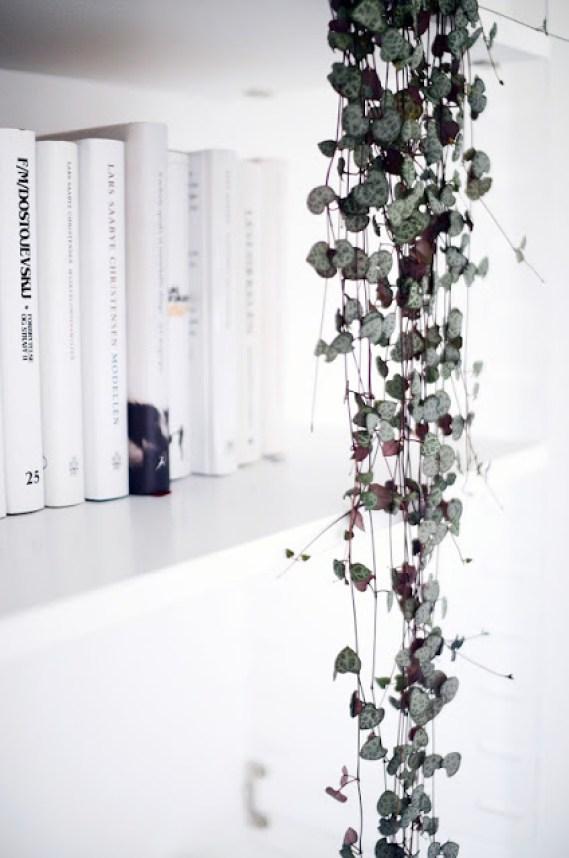 Sentourer De Belles Plantes Le Ceropegia Woodii