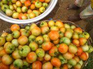 Tomates récoltée