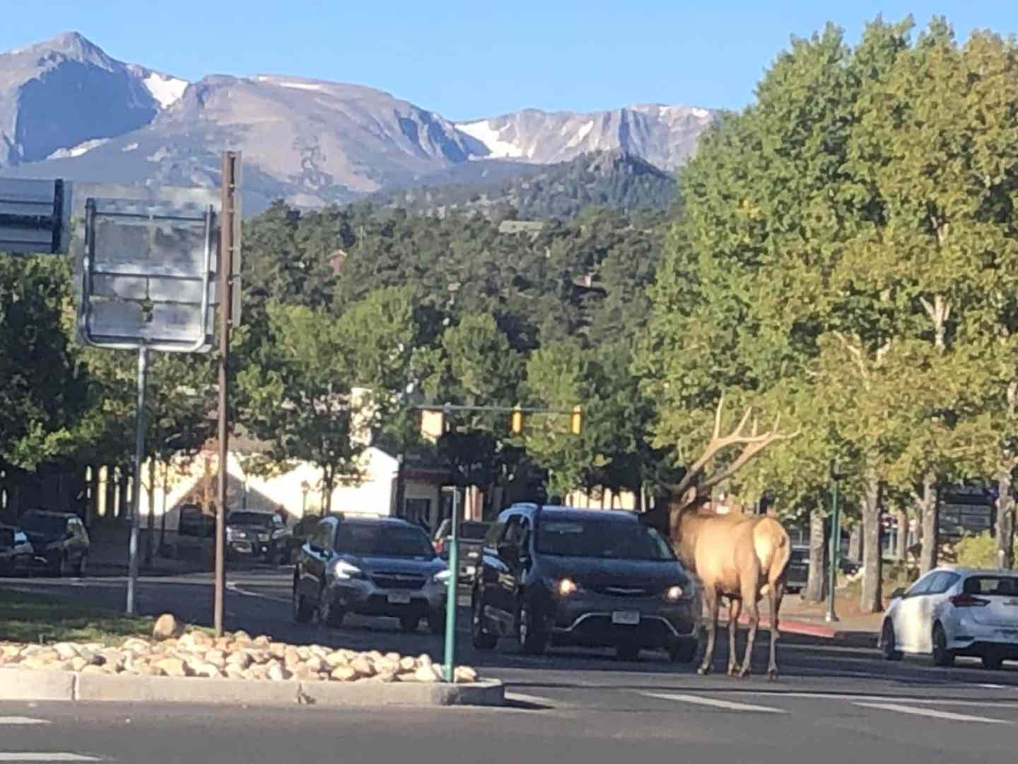 mountains, Estes Park, Elk in traffic