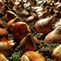 Quickly and Efficiently Trench Plant Bulk Tulip Bulbs in the Cut Flower Garden - Spring Flower Bulbs