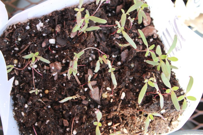 2.23 anemones.seed.bitter 030