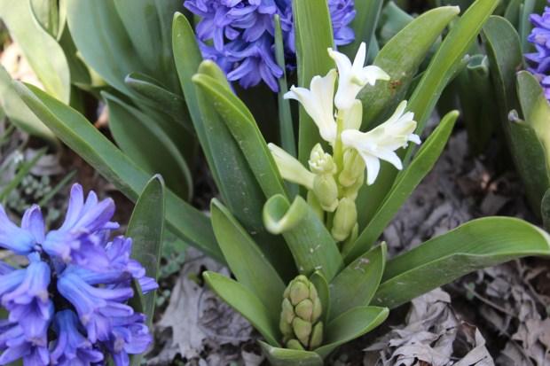 hyacinthsandotherstuff 021