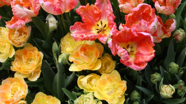 picking_tulips 017