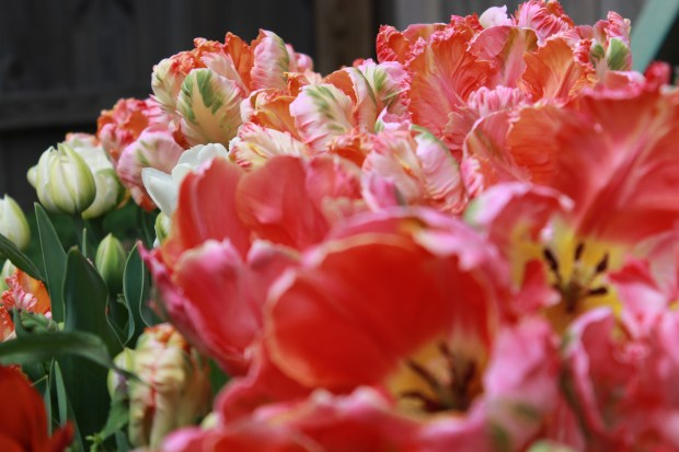 picking_tulips 049