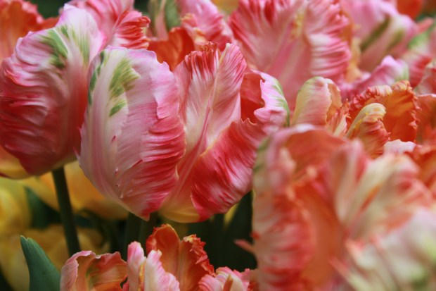 picking_tulips 051