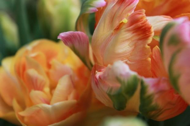 picking_tulips 058