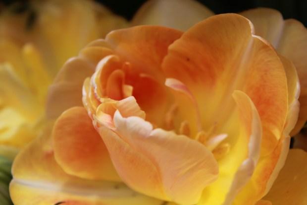 picking_tulips 066