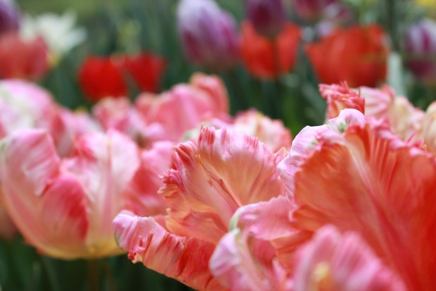 picking_tulips 075