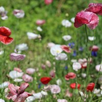 Sowing Mother of Pearl Shirley Poppies - Fall Planting Hardy Annual Cut Flowers in Zone 6