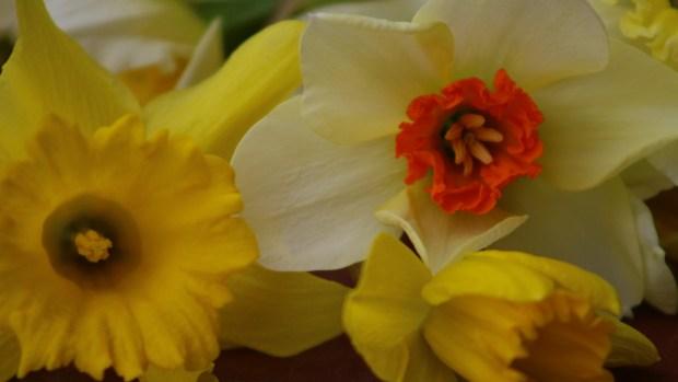 daffodils-014